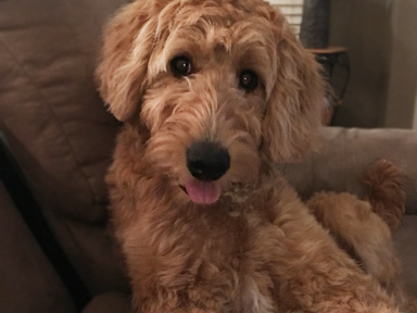 Midwest Golden Doodles For Sale in Washington Township (Avon), Indiana
