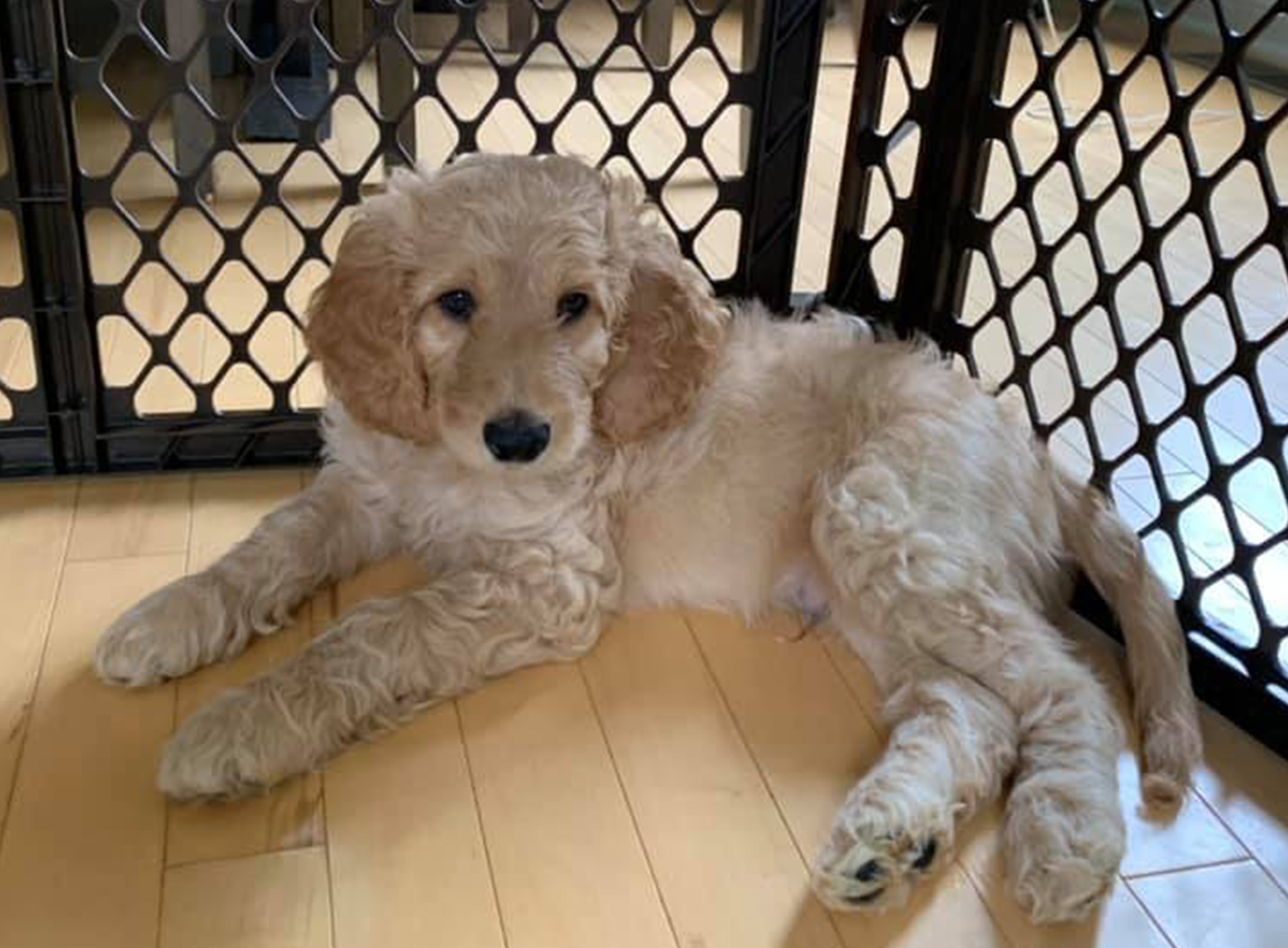 Midwest Golden Doodles For Sale In Washington Township Avon Indiana